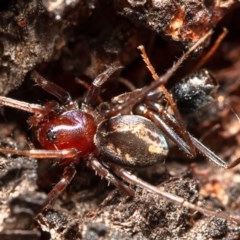 Habronestes bradleyi (Bradley's ant-eating spider) at Umbagong District Park - 28 Mar 2020 by Roger