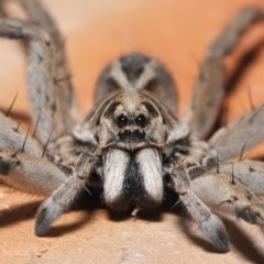 Tasmanicosa godeffroyi (Garden Wolf Spider) at Evatt, ACT - 25 Mar 2020 by TimL