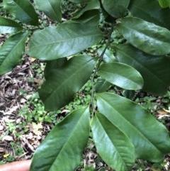 Eupomatia laurina (Bolwarra) at Wattamolla, NSW - 28 Mar 2020 by WattaWanderer