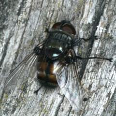 Rutilia (Donovanius) sp. (genus & subgenus) (A Bristle Fly) at Mount Ainslie - 28 Mar 2020 by jbromilow50
