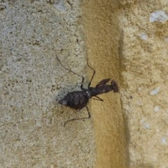 Paraoxypilus tasmaniensis (Black bark mantis) at Mossy Point, NSW - 28 Mar 2020 by HelenR