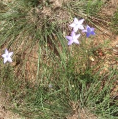 Wahlenbergia sp. (Bluebell) at Hughes, ACT - 29 Mar 2020 by jennyt