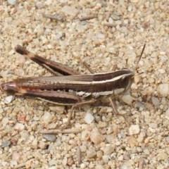 Macrotona australis (Common Macrotona Grasshopper) at Pine Island to Point Hut - 28 Mar 2020 by RodDeb