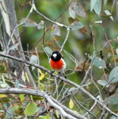 Petroica boodang (Scarlet Robin) at Red Hill Nature Reserve - 29 Mar 2020 by Ct1000