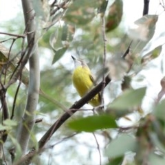 Gerygone olivacea (White-throated Gerygone) at Red Hill Nature Reserve - 29 Mar 2020 by Ct1000