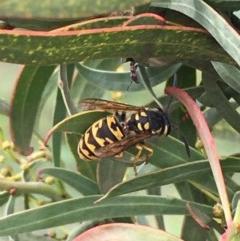 Vespula germanica (European wasp) at Jerrabomberra Wetlands - 28 Mar 2020 by JaneR
