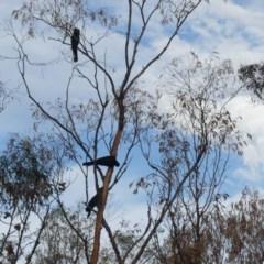 Zanda funereus (Yellow-tailed Black-Cockatoo) at Mount Ainslie - 29 Mar 2020 by WalterEgo