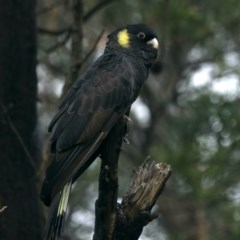 Zanda funereus (Yellow-tailed Black-Cockatoo) at Jerrabomberra Wetlands - 27 Mar 2020 by jbromilow50