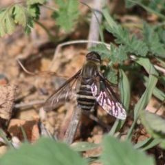 Villa sp. (genus) (Unidentified Villa bee fly) at Red Hill Nature Reserve - 29 Mar 2020 by LisaH
