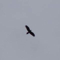 Aquila audax (Wedge-tailed Eagle) at Red Hill Nature Reserve - 29 Mar 2020 by LisaH