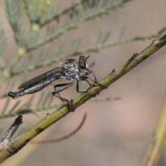 Cerdistus sp. (genus) (Robber fly) at Dunlop, ACT - 14 Feb 2020 by AlisonMilton