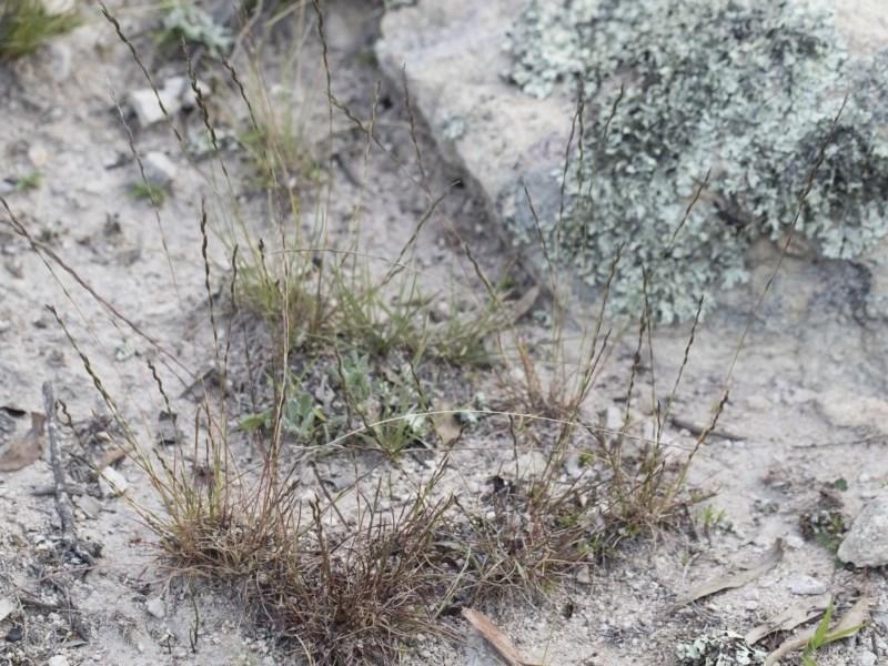 Tripogonella loliiformis at Illilanga & Baroona - 29 Mar 2020