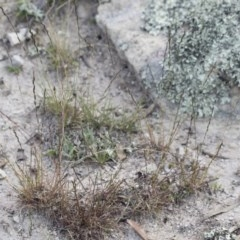 Tripogonella loliiformis (Five Minute Grass) at Illilanga & Baroona - 29 Mar 2020 by Illilanga