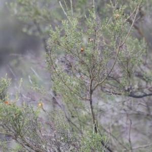 Mirbelia oxylobioides at Illilanga & Baroona - 29 Mar 2020