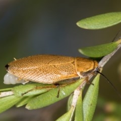 Ellipsidion humerale (Common Ellipsidion) at West Belconnen Pond - 22 Jan 2017 by Bron