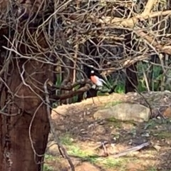 Petroica boodang (Scarlet Robin) at Red Hill Nature Reserve - 30 Mar 2020 by LisaH