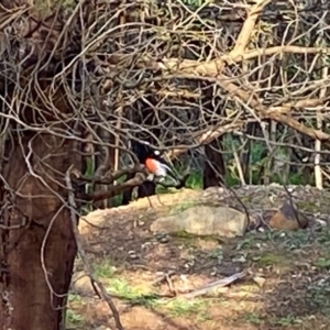 Petroica boodang at Red Hill Nature Reserve - 30 Mar 2020
