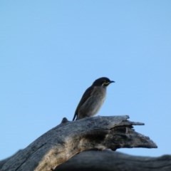 Caligavis chrysops (Yellow-faced Honeyeater) at Red Hill Nature Reserve - 30 Mar 2020 by Ct1000