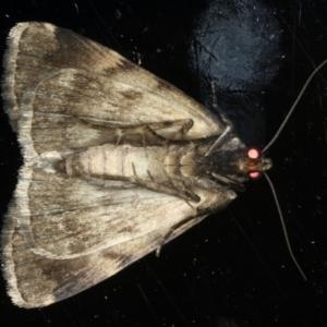 Mormoscopa phricozona at Ainslie, ACT - 29 Mar 2020