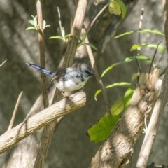 Malurus cyaneus (Superb Fairywren) at Penrose - 18 Mar 2020 by Aussiegall
