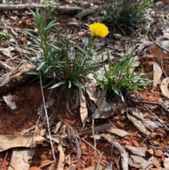 Rutidosis leptorhynchoides (Button wrinklewort) at Red Hill Nature Reserve - 29 Mar 2020 by Ratcliffe