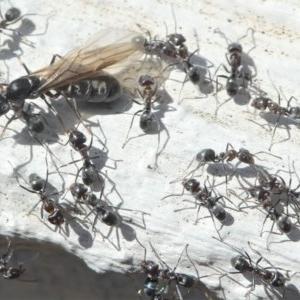 Iridomyrmex rufoniger at Kambah, ACT - 30 Mar 2020