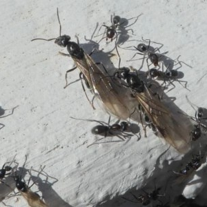 Iridomyrmex rufoniger at Kambah, ACT - 30 Mar 2020