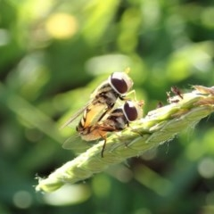 Simosyrphus grandicornis (Common hover fly) at Mount Painter - 26 Mar 2020 by CathB