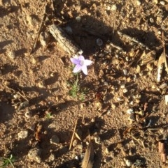 Wahlenbergia stricta subsp. stricta (Tall Bluebell) at Hughes, ACT - 31 Mar 2020 by jennyt