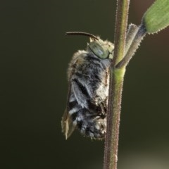 Amegilla sp. (genus) (Blue Banded Bee) at Higgins, ACT - 30 Mar 2020 by Alison Milton