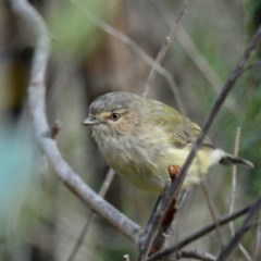 Smicrornis brevirostris (Weebill) at Red Hill Nature Reserve - 29 Mar 2020 by Ct1000
