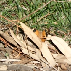 Heteronympha merope (Common Brown) at Red Hill Nature Reserve - 31 Mar 2020 by Ct1000