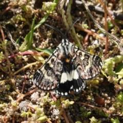 Apina callisto (Pasture Day Moth) at Deakin, ACT - 31 Mar 2020 by JackyF
