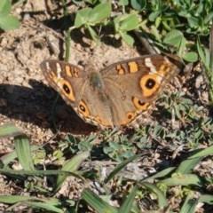 Junonia villida (Meadow Argus) at Deakin, ACT - 31 Mar 2020 by JackyF