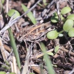 Oedaleus australis (Australian Oedaleus) at The Pinnacle - 14 Feb 2020 by AlisonMilton