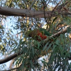 Alisterus scapularis (Australian King-Parrot) at Hughes Grassy Woodland - 28 Mar 2020 by JackyF