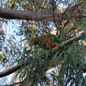 Alisterus scapularis at Deakin, ACT - 28 Mar 2020