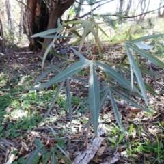 Brachychiton populneus subsp. populneus (Kurrajong) at Kambah, ACT - 31 Mar 2020 by HelenCross