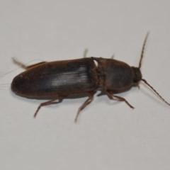 Conoderus sp. (genus) (Click beetle) at Wamboin, NSW - 24 Jan 2020 by natureguy