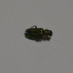 Phlogistus sp. (genus) (Clerid beetle) at Wamboin, NSW - 24 Jan 2020 by natureguy