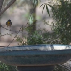 Pardalotus punctatus (Spotted Pardalote) at Wamboin, NSW - 30 Jan 2020 by natureguy