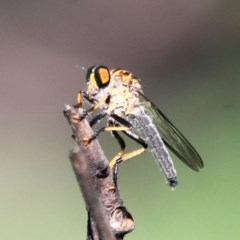 Ommatius sp. (Common Yellow Robber Fly) at South Pacific Heathland Reserve - 21 Mar 2020 by CBrandis