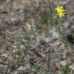 Tricoryne elatior (Yellow Rush Lily) at Gundaroo, NSW - 22 Mar 2019 by Gunyijan
