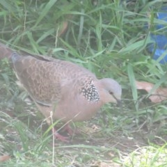 Streptopelia chinensis (Spotted Dove) at Curtin, ACT - 31 Mar 2020 by tom.tomward@gmail.com