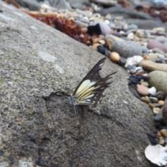 Belenois java (Caper White) at Batemans Marine Park - 30 Mar 2020 by HelenR