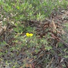 Hibbertia obtusifolia (Grey Guinea-flower) at The Pinnacle - 31 Mar 2020 by sangio7