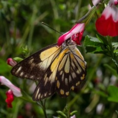 Belenois java (Caper White) at Macgregor, ACT - 1 Apr 2020 by Roger