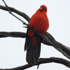 Alisterus scapularis (Australian King-Parrot) at Burradoo - 31 Mar 2020 by GlossyGal