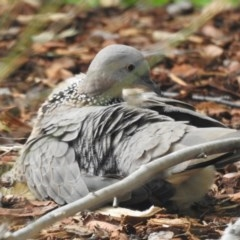 Streptopelia chinensis (Spotted Dove) at Wingecarribee Local Government Area - 29 Mar 2020 by GlossyGal