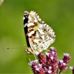 Vanessa kershawi (Australian Painted Lady) at Gigerline Nature Reserve - 1 Apr 2020 by JohnBundock